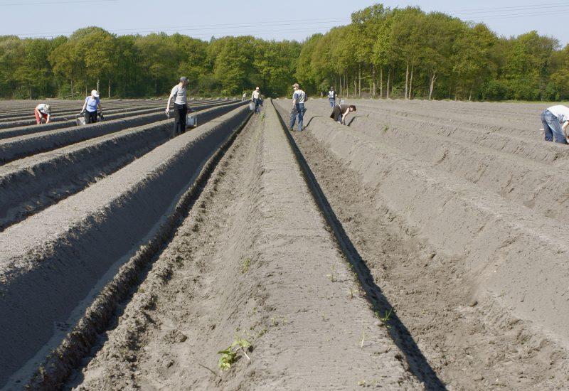 Polen asperges steken
